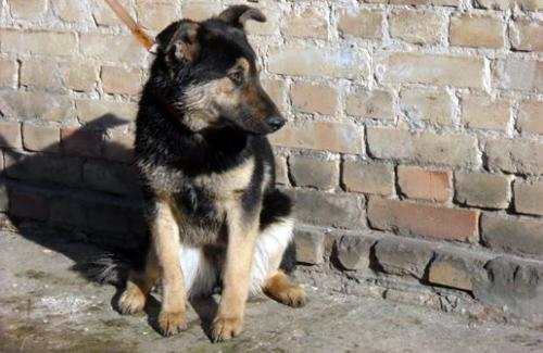 Немецкая овчарка, 8 месяцев