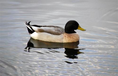 На Полтавщині збільшують популяцію качок