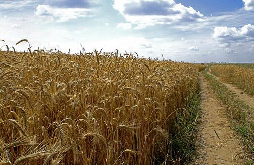 На Полтавщині почався збір ранніх зернових