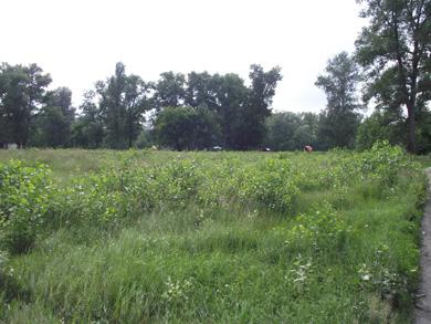 На этом участке раньше росли тополя