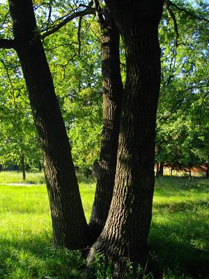 Подібні потрійні дерева у розвинених країнах одразу стають природними охоронними пам`ятками