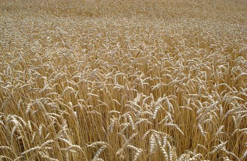 Експерти порекомендували не вивозити зараз зерно за кордон