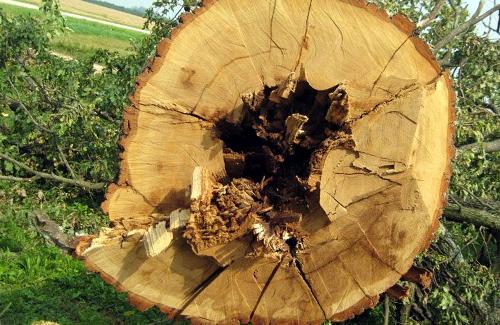 Зрублений дуб