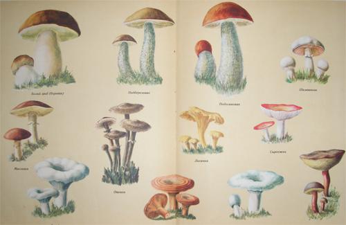 Їстівні гриби можуть таїти в собі «хімічну» небезпеку