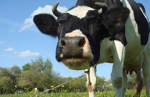 Росіяни не довіряють полтавським коровам із приватних садиб