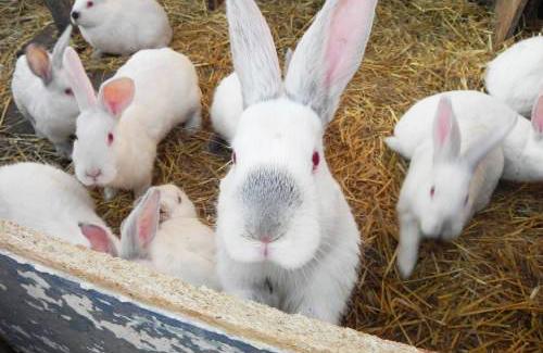 Кролівництво на Полтавщині: поради досвідченого підприємця