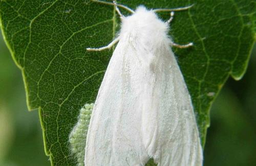 Американський  білий метелик
