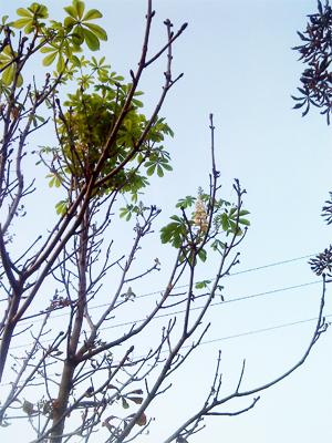 У Полтаві цвітуть каштани