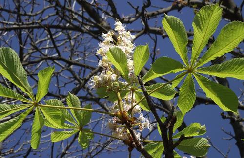 У Полтаві знову цвітуть каштани