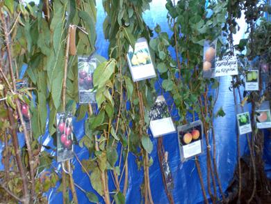 Полтавці саджатимуть на дачах мандаринові та лимонні дерева