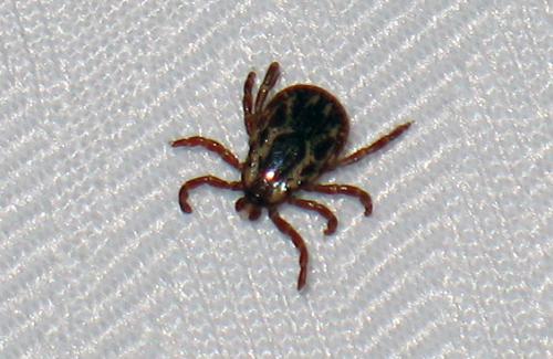 из паразитов человека наибольших размеров достигает
