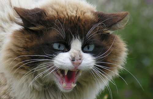 "Результат пошуку зображень за запитом ""скажений кіт"""