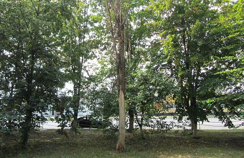 Cухе дерево на вулиці Великотирнівській