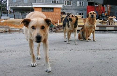 Бродячі собаки