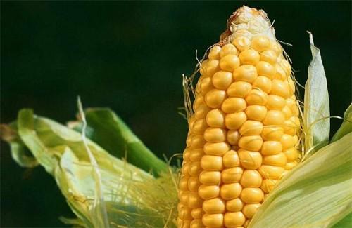 Сезон кукурудзи розпочато фото vashsad