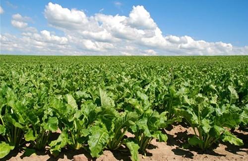 Цукровий буряк – одна з найважливіших технічних рослин в Україні