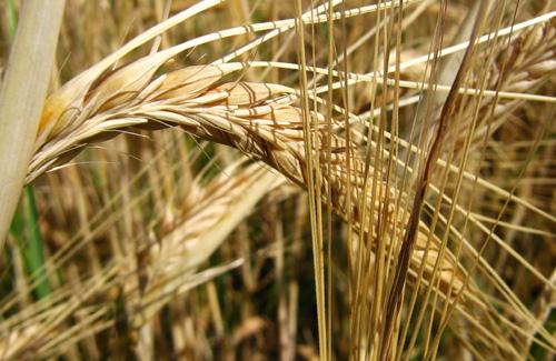 Митники планують перевіряти все заявлене до експорту зерно