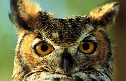 Символ передачи телевизионного клуба знатоков «Что? Где? Когда?»: сова, символ мудрости