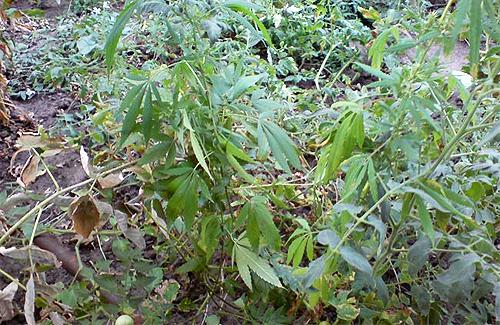 На Полтавщині знайшли наркотик канабіс