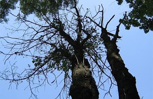 Аварийные деревья в центре Полтавы (2010.06.21)