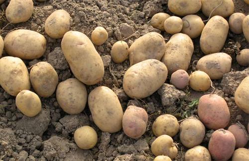 На Полтавщині врожай картоплі на 20% менший, ніж торік