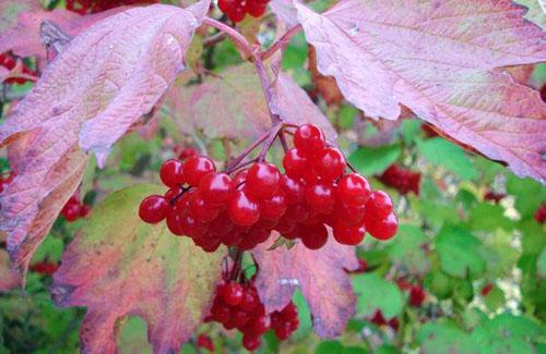 Осенние ягоды — готовим организм к зиме