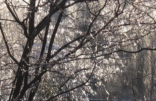 Дерево, покрытое ледяной глазурью, сияет на солнце