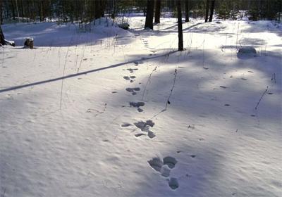 Доріжка заячих слідів на глибокому снігові