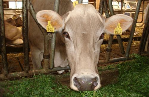Полтавщина посідає перше місце в Україні по поголів'ю великої рогатої худоби