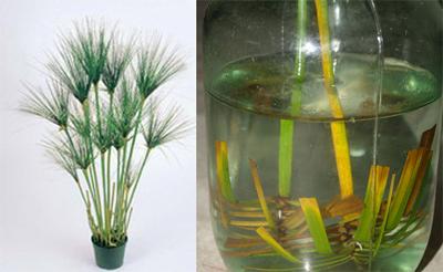 Проростити більшість декоративних рослин можна із гілочки чи навіть листка