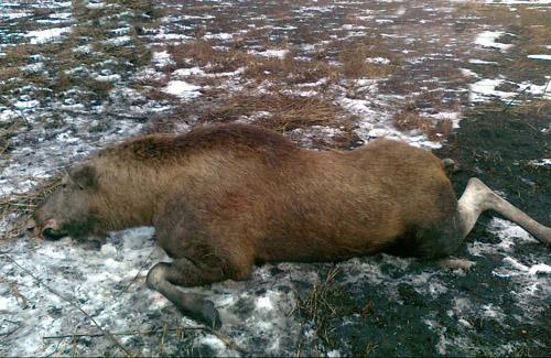 Невдале полювання чиновників на Полтавщині