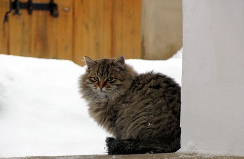 Кот в музее-усадьбе Ивана Котляревского в Полтаве