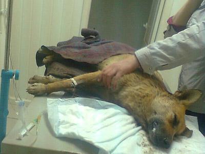 Жулька - последння на этот момент отравленная собака