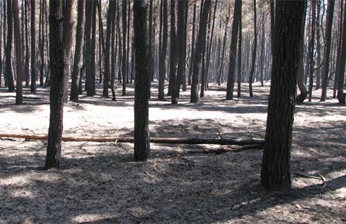 Хвойний ліс у кременчуцькому лісництві після пожежі. (2010 рік)