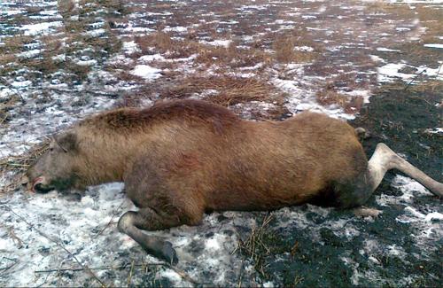 Досі не можуть виявити вбивць оржицьких лосів