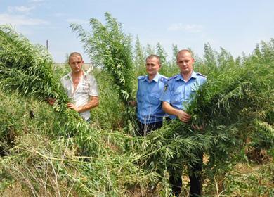 Милиционеры уничтожают посевы конопли