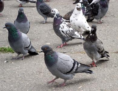 Птахів від театру Гоголя в Полтаві відганятимуть по-європейськи