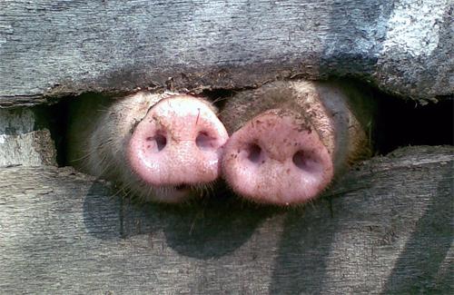 Свинарство на Полтавщині: бекону буде більше, ніж сала