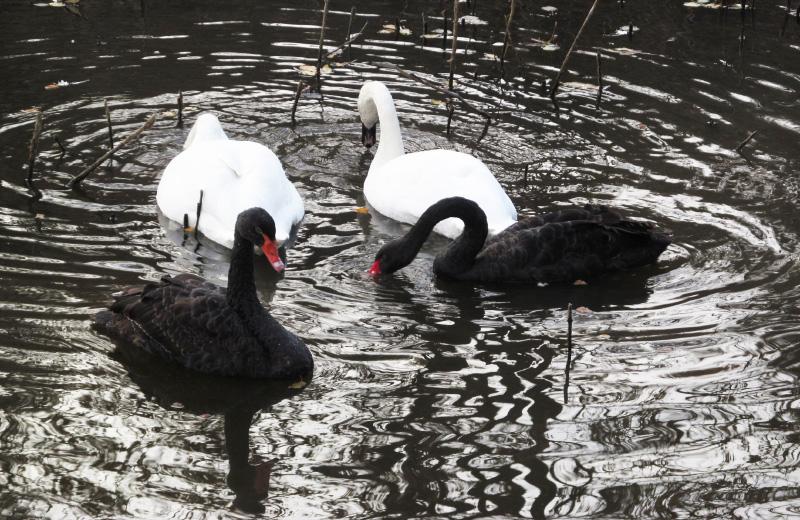 Білі та чорні лебеді у Полтавському дендропарку