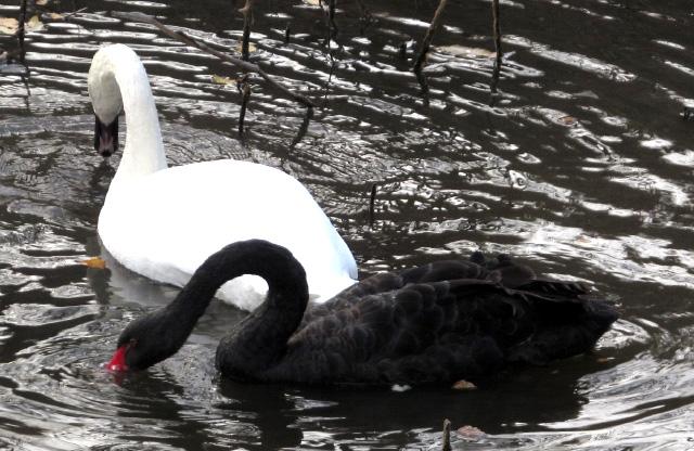 Лебеді у полтавському дендропарку