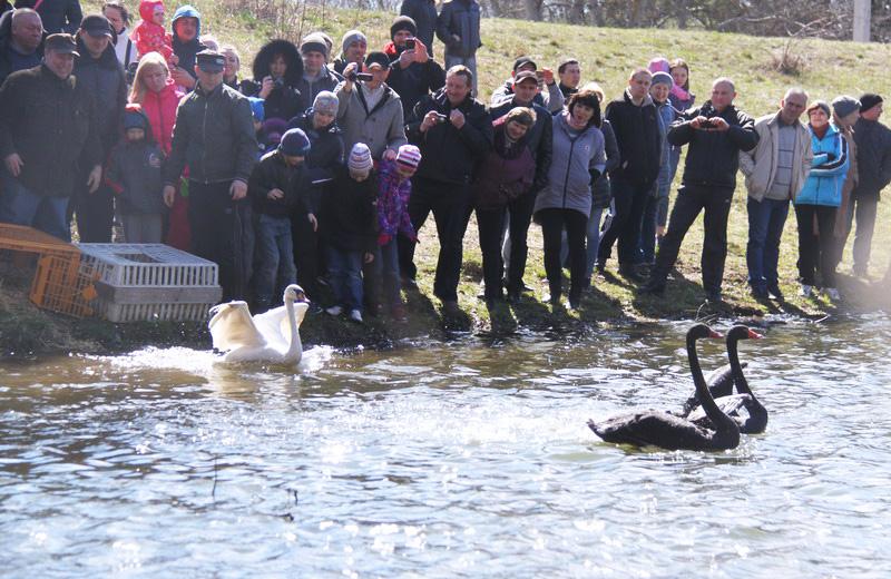 Повернення лебедів на ставок дендропарку