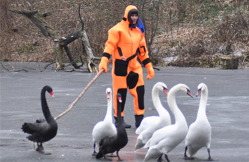 Лебеді покидають Дендропарк на зимування у Ковалівці