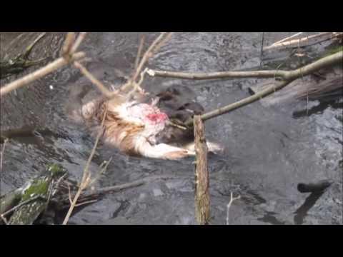 Ліси-пустки: браконьєри знищують оленів у Вільшанському заповіднику