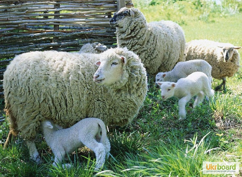 Голу вівцю не стрижуть: Підприємець із Прикарпаття відроджує вівчарство