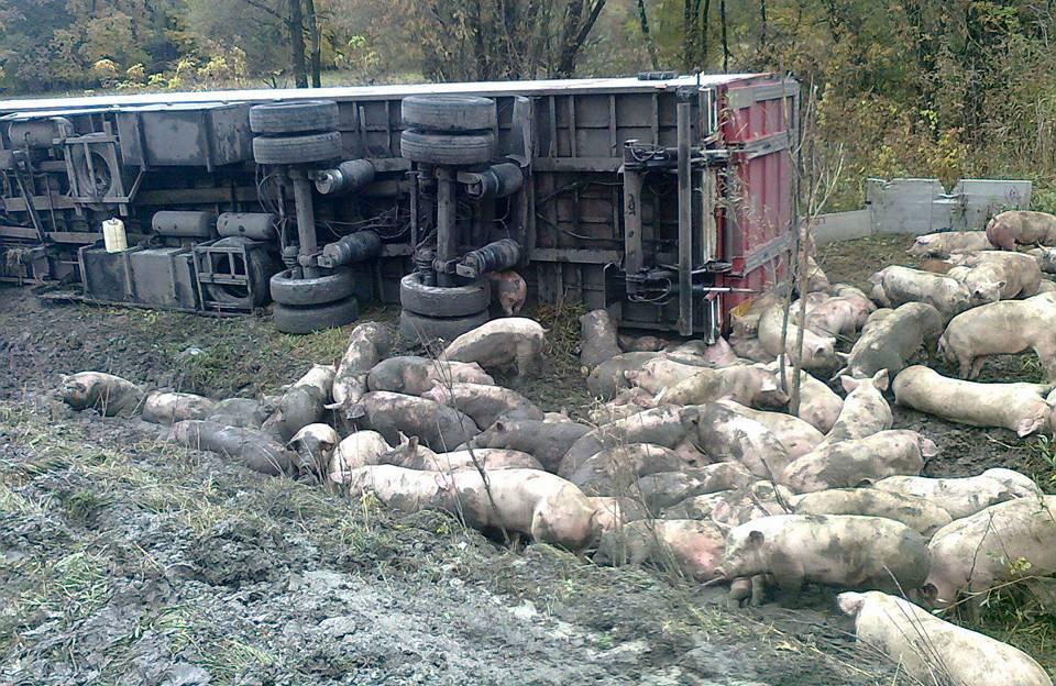 Під Лубнами перекинулась вантажівка: загинуло 50 свиней