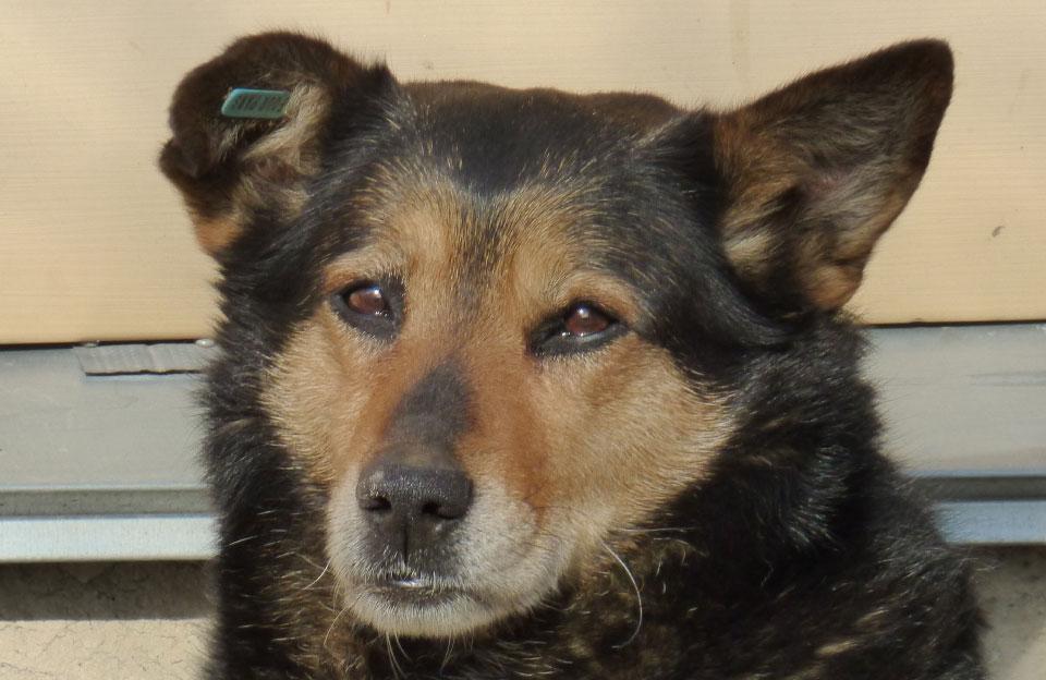 Стерилізована собака з вушною біркою
