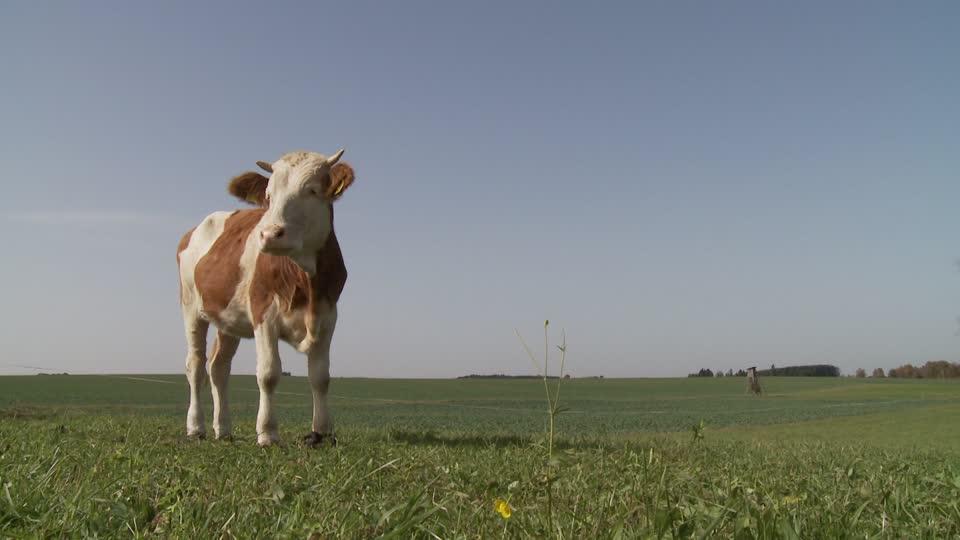 Корова на випасі у Німеччині