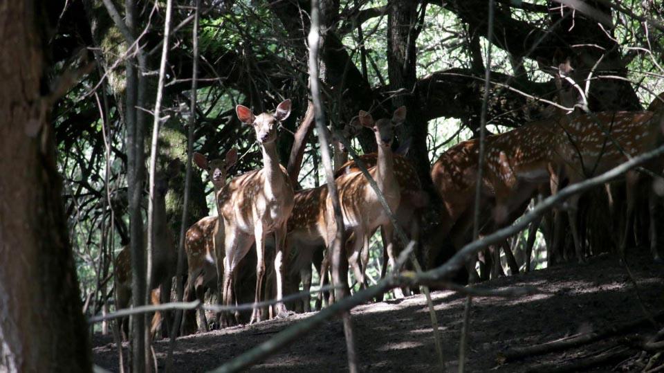 Завезені олені та муфлони на території вольєру