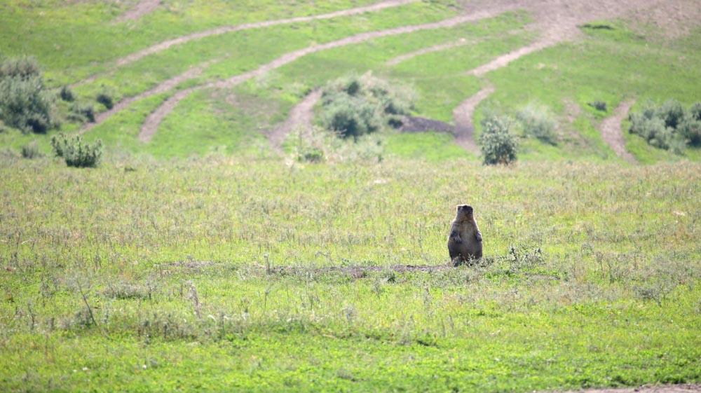 Територія угідь агрофірми «Подоляка» з завезеними байбаками