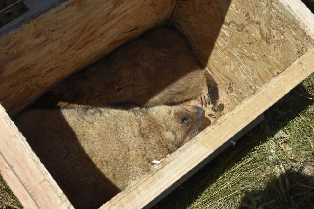Працівники агрофірми «Подоляка» перевезли із Диканського району до Полтавського шість байбаків